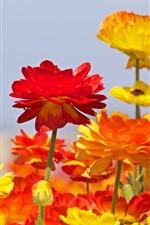Preview iPhone wallpaper Ranunculus, red and orange flowers