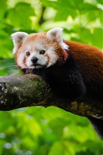 Preview iPhone wallpaper Red panda rest, tree, green leaves