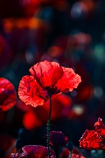 Preview iPhone wallpaper Red poppies, flowers, backlight