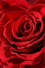 Rosas vermelhas, pétalas, fotografia macro