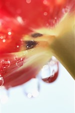 Preview iPhone wallpaper Red tulip macro photography, under, water droplets