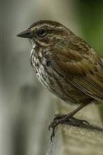 Preview iPhone wallpaper Sparrow, bird, blurry