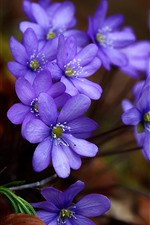Preview iPhone wallpaper Spring, blue purple flowers
