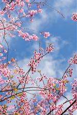Preview iPhone wallpaper Spring, sakura flowering, pink flowers, twigs