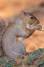Preview iPhone wallpaper Squirrel eat peanut