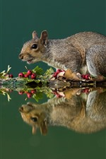 Squirrel, red berries, water reflection
