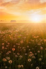 Preview iPhone wallpaper Summer, flowers, fog, dandelions, sunrise