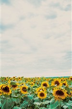 Preview iPhone wallpaper Sunflowers, blue sky, white clouds