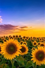 Preview iPhone wallpaper Sunflowers, fields, sunshine, summer, clouds
