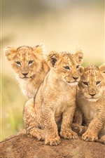 Preview iPhone wallpaper Three little lions, cubs