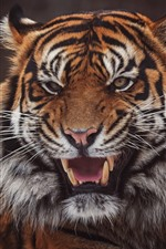 Preview iPhone wallpaper Tiger, face, open mouth, teeth, black background