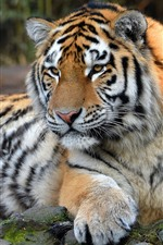 Preview iPhone wallpaper Tiger, wildlife, front view