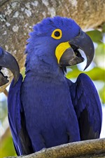 Preview iPhone wallpaper Two blue parrots, macaw