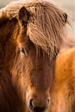 Preview iPhone wallpaper Two brown horses, head, face