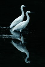 Preview iPhone wallpaper Two egrets, black background, reflection in the water