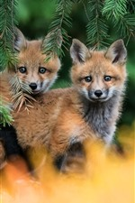 Two little foxes look, pine