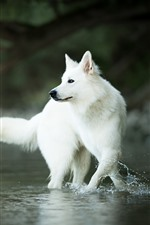 Preview iPhone wallpaper White Swiss shepherd dog, water