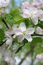 Preview iPhone wallpaper White apple flowers bloom, spring