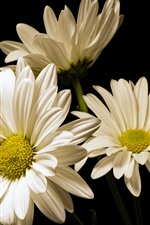 White gerbera flowers, black background