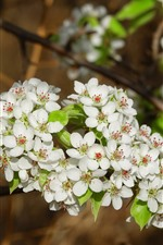 Preview iPhone wallpaper White pear flowers, blossom, spring