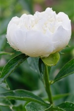 White peony, water droplets