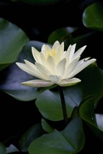 Preview iPhone wallpaper White petals water lily, lotus leaves