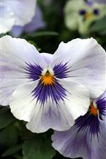 iPhone壁紙のプレビュー 白い紫の花びら、パンジー