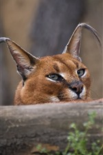 Preview iPhone wallpaper Wild life, caracal, ears