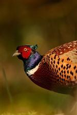 Preview iPhone wallpaper Wildlife, pheasant