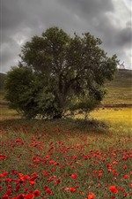 Windmill, hill, poppies, tree, summer
