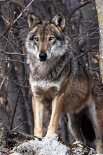 Preview iPhone wallpaper Wolf, forest, wildlife