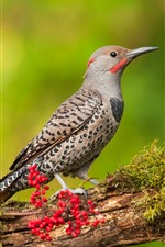 Preview iPhone wallpaper Woodpecker, bird, tree branch, red berries
