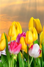 Yellow and pink white tulips, sun rays