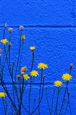 Yellow flowers, blue wall background
