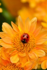 Preview iPhone wallpaper Yellow flowers, ladybug