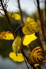 Preview iPhone wallpaper Yellow foliage, twigs, autumn