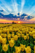 Preview iPhone wallpaper Yellow tulips field, trees, blue sky, clouds, sunset
