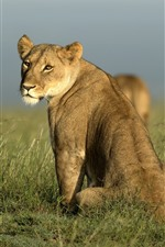 Preview iPhone wallpaper African, lioness look back, grass