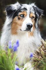 Preview iPhone wallpaper Australian shepherd, dog, blue flowers