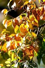 iPhone fondos de pantalla Otoño, hojas amarillas, ramitas, sol.