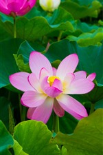 Preview iPhone wallpaper Beautiful pink lotus, green leaves, park