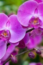 Preview iPhone wallpaper Beautiful pink phalaenopsis, spring flowers