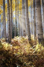 Preview iPhone wallpaper Birch forest, trees, bushes