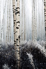 Preview iPhone wallpaper Birch, trees, frost
