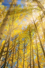 Preview iPhone wallpaper Birch, trees, yellow leaves, sun rays, glare