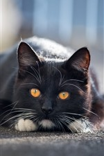 Preview iPhone wallpaper Black cat rest, yellow eyes, front view