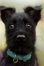 Preview iPhone wallpaper Black puppy, hazy background
