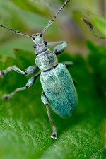 Blue beetle, insect, green leaves