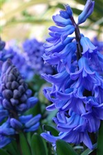 Preview iPhone wallpaper Blue hyacinth, spring flowers