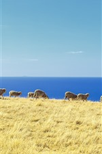 Preview iPhone wallpaper Blue sea, grass, sheep